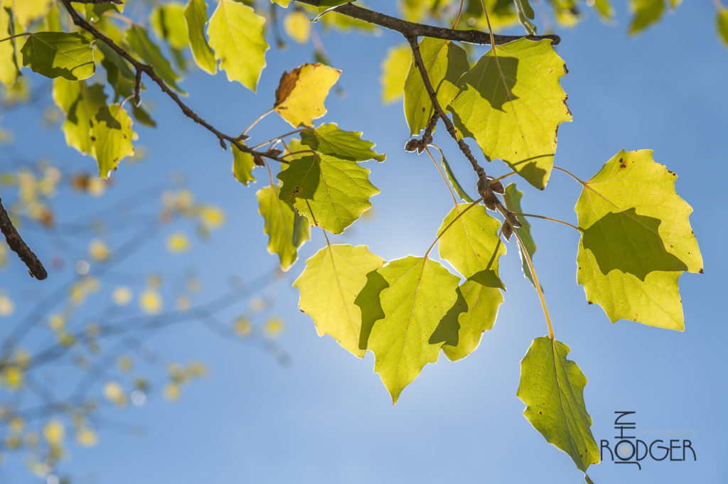 Poplar trees in the sun